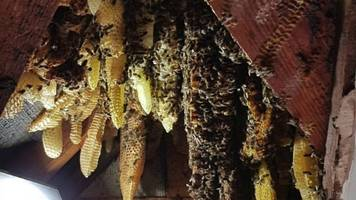 what's the buzz? 20,000 bees in a house