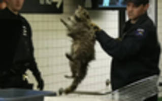 see it: freakin raccoon caught in 14th street subway station