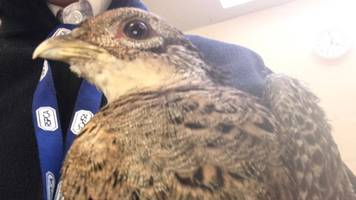king's lynn crash pheasant released back into wild