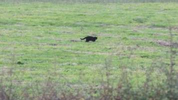 cornwall dog attacked by 'possible panther' at callington