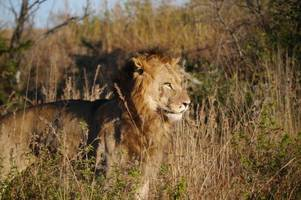 man killed by elephant and eaten by lions while trying to poach rhinos