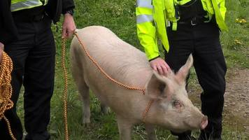 escaped pig caught by police in tilsworth