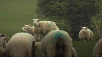 sheep attacks: 'these dogs have got a taste for blood'
