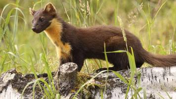pine marten hope to boost lake district red squirrels
