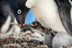 'penguins' film review: ed helms narrates a plucky pygoscelis in disneynature's latest doc