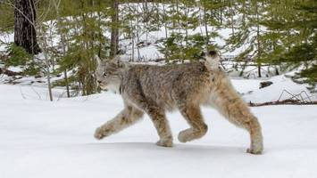 watch: rare lynx found in michigan released back into the wild