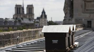 'Drunk' rooftop bees survive Notre-Dame fire