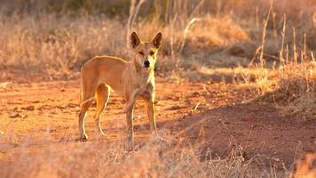 Australia dingo attack: Father saves toddler from wild dog