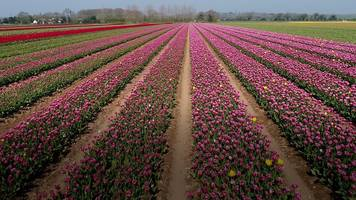 tulips from the air: artist drawn to beauty of norfolk flowers
