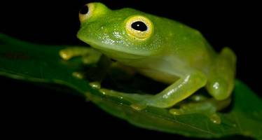 battle to save frogs from global killer disease