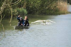 angry swan attacks canoeists enjoying the weather - and even knocks one into the water