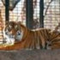 kansas zookeeper recovering after tiger attack
