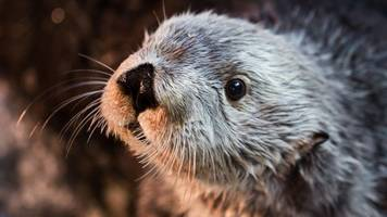 Charlie, the Oldest Living Southern Sea Otter at Any Aquarium or Zoo, Dies at Age 22