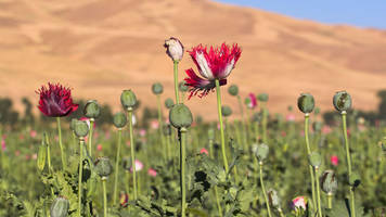how the us military's opium war in afghanistan was lost
