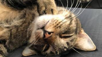 dorset cattery gives bruce the cat to wrong owners