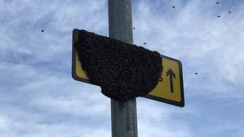 cambridge road sign becomes home to bee swarm