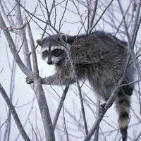 the 'raccoon' rant not written by steve harvey