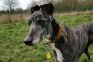 west lothian rehoming centre seeks home for gentle greyhound