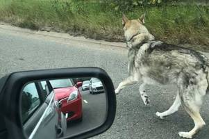 Dog running in road at M5 Sandgate roundabout in Exeter - latest updates