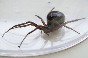 false widow spiders are invading kent homes - what you should do if you spot one?
