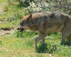 Packs of wolf-dogs could wipe out wolves in Europe, scientists warn