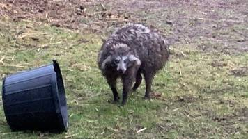 'dangerous' raccoon dog escape prompts police warning