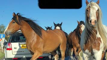 escaped horses block a47 acle straight in norfolk