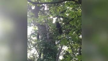 russell the crow dive-bombing walkers in sheffield wood