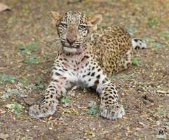 leopard cub with paralysis due to injuries rescued in igatpuri; returns safely into wild