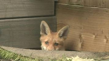 family of foxes take over garden in south bristol