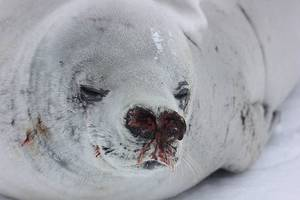 noaa investigating after dozens of dead seals found in northwest alaska