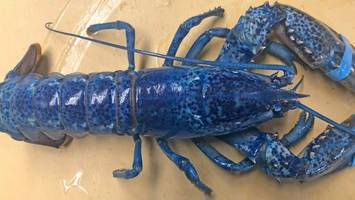 Extremely Rare Blue Lobster Discovered in Cape Cod Restaurant Shipment