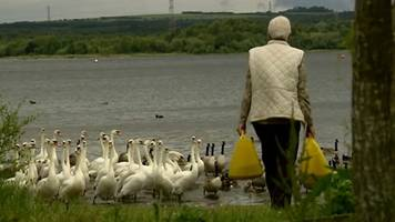 couple spends £150 a month to feed staffordshire swans