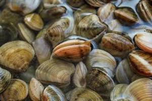 New Study Finds Surfclams Uniquely Resilient in Face of Climate Change