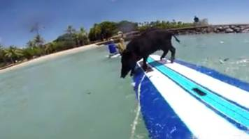 Kama3, Hawaii's Famous Surfing Pig, Reportedly Killed By Hunters