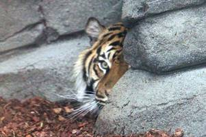 twycross zoo releases footage welcoming its first tigers for more than 15 years
