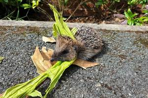 'us humans are selfish and clueless at times' - firefighter finds dead baby hedgehog with plastic round its neck