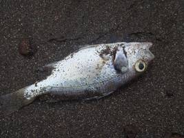 pollution from unidentified substance kills fish, insects in england's river sheppey