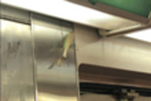'gigantic' praying mantis stalks subway searching for brains to eat