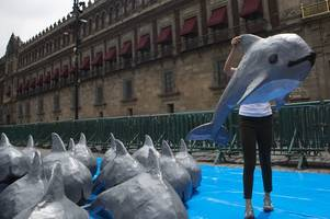 efforts to save vaquitas, the world's most endangered animal, are running out of hope