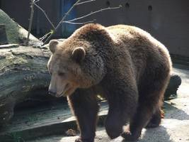 study suggests prehistoric humans drove european cave bears to extinction