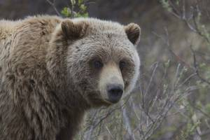 bear kills french musician on expedition to record sounds of nature in canadian wilderness