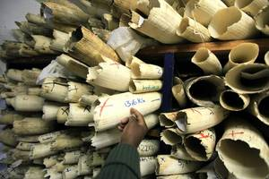 Wildlife Summit Denies Proposal To Loosen Restrictions On Elephant Ivory Trade