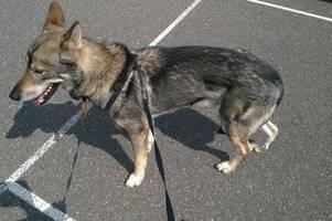 distressed and 'malnourished' dog abandoned in hot car as heatwave returns