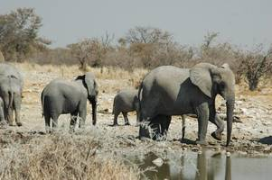 dozens of elephants die in zimbabwe drought