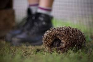 hedgehogs at risk of being burned alive during bonfire night