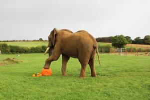 elephant poo the answer to why more than a hundred pumpkins grown at this somerset zoo