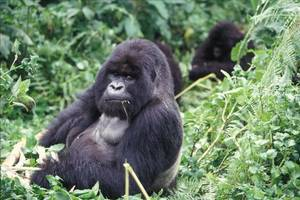 'it's not like they're laying on a golf course': the 12-year hunt for ebola-ridden gorillas