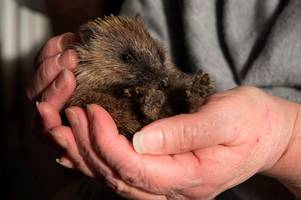 the best ways to protect hedgehogs on bonfire night