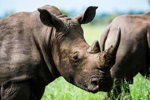 Fake rhino horn made with horse hair 'could help conservation efforts'